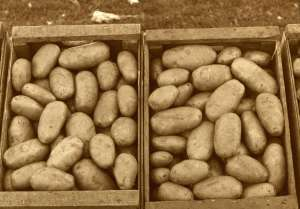 Boxes of potatoes